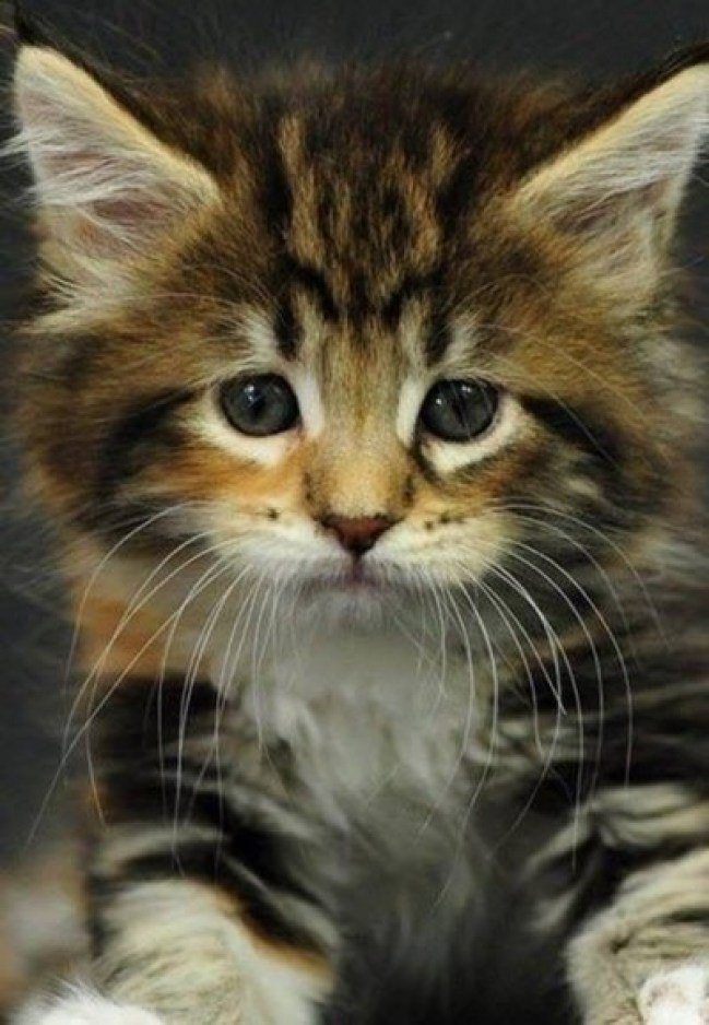 What an adorable longhaired #kitten