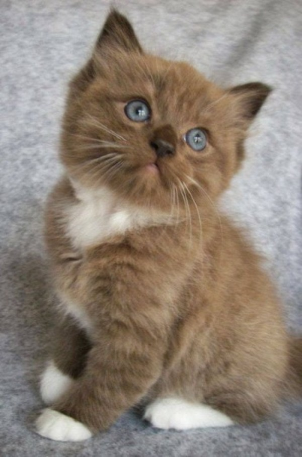 What an adorable chocolate coloured kitty