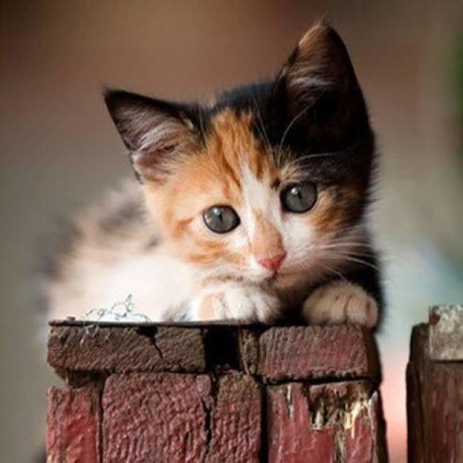 Calico cutie