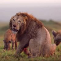 See What Happens When a Lion is Attacked by Pack of Hyenas