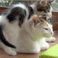 A Very Patient Mother Cat With 5 Crazy Active Kittens