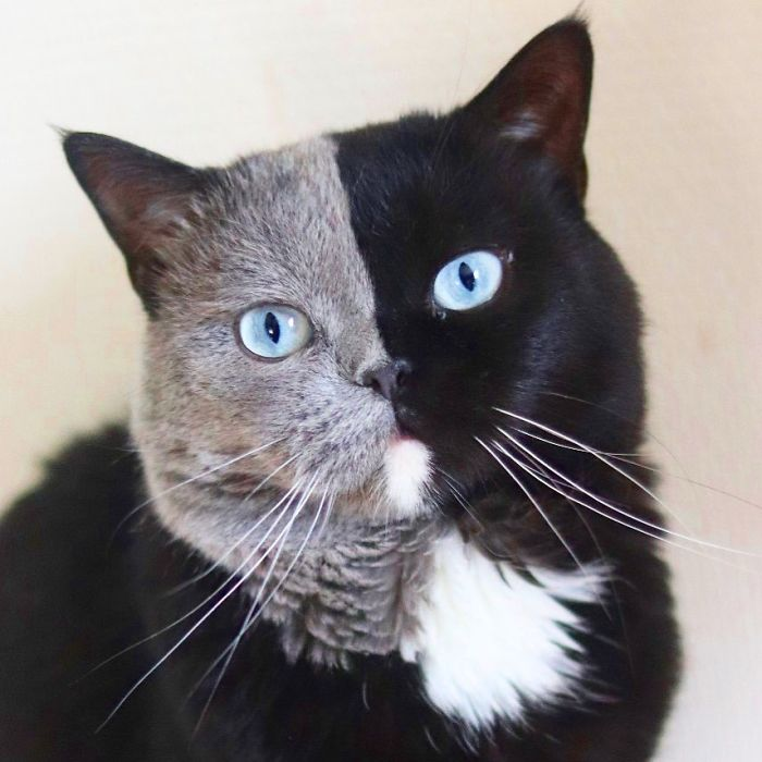 Cat with a double-colored face becomes a father to kittens in all of his colors