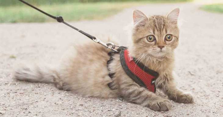 harness-for-cat