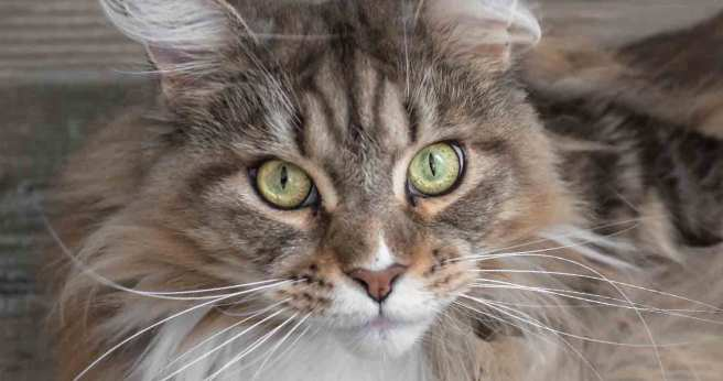 maine-coon-breed-facts