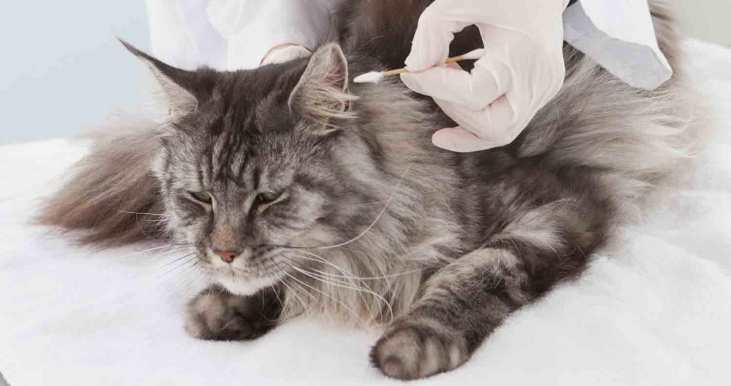 maine-coon-breed-health