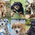 Types Of Goldendoodle Colors With Pictures We Love Doodles