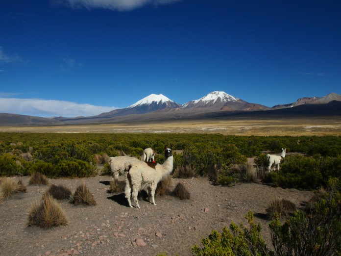 Llama's in Sajama National Park, Bolivia
