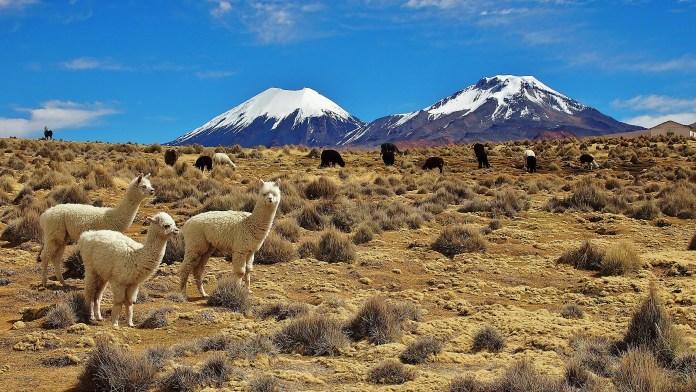 Llama's in Sajama park, Bolivia