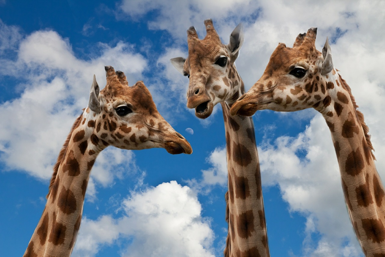 Things to Do in Wales-giraffes