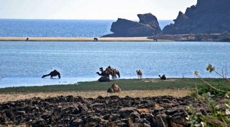 Sultanat Oman- Wo Kamele baden gehen