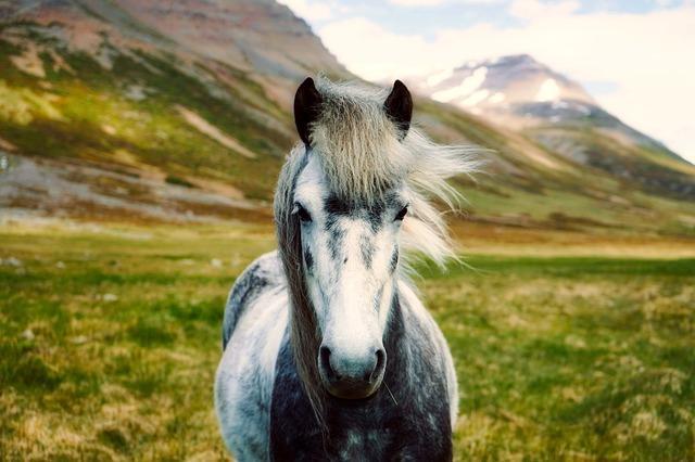 Ein Island-pferd blickt in die Kamera.