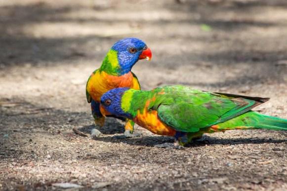 Rainbow Lorakees