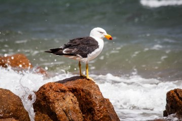 Grumpy Seagull in the Freycenet National Park