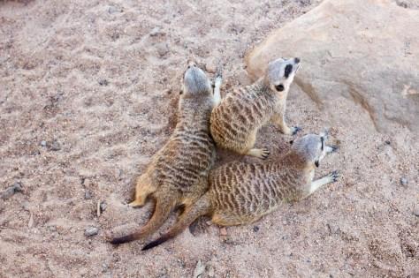 Meerkat acrobats