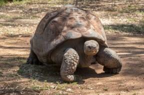The Methusela of animal kingdom - The ancient Galapagos tortoise
