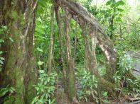 Immer wieder beeindruckend sind die überdimensionalen Luftwurzeln der Bäume