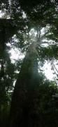 Die Bäume sind so groß, dass sie kaum auf ein Foto passen