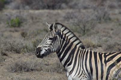 Die Zebras rasten und ruhen nicht – wir haben sie morgens, mittags und abends entdeckt