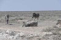 Ausgelassen wälzen sich die Zebras im Staub der Wüste.