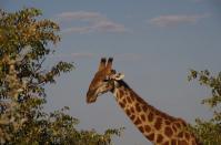 Vorsichtig nähert sich die Giraffe ihrem Lieblingsbaum.