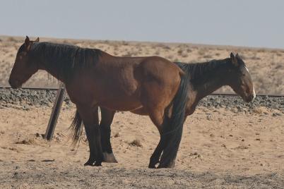 Das Doppelkopppferd gibt es nur in Namibia.