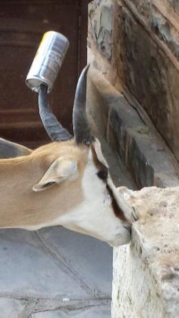 Ein Spaßvogel hatte dem Springbock eine Bierbüchse auf die Hörner gesteckt...