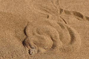 ... bevor sie blitzschnell wieder im Sand verschwindet.