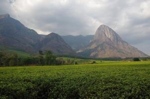 Tee soweit das Auge reicht, vor der Kulisse des höchsten Berges von Malawi.