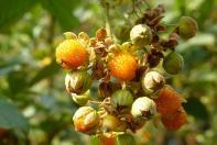 ... und es werden leckere Beeren geerntet.