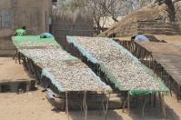 ... oder mit Netzen. Ein Großteil des Fangs wird auf riesigen Tafeln getrocknet.