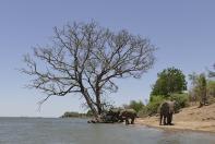 Bei Temperaturen um die 40 Grad zieht es die Tiere immer wieder zum Ufer des Sambesi...