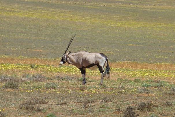 ... und dazwischen immer mal ein Oryx.