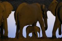 Kurz vor Einbruch der Dunkelheit kommen die Elefanten nochmal zum Wasserloch. Schützend nehmen sie die Kleinsten in ihre Mitte.