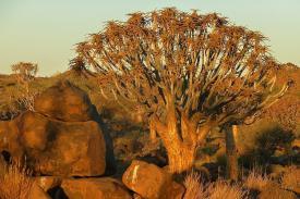 Immer wieder schön: Köcherbäume bei Sonnenuntergang