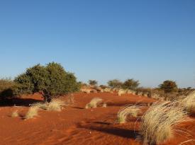 Roter Sand, grüne Kameldornbäume und gelbes Gras vor blauem Himmel – die Kalahari ist immer wieder schön anzuschauen. (Bild: Martina Reichardt-Golde)