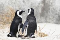 Komm lass uns eine Runde drehen! Pinguine in Simonstown.
