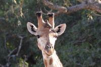 Giraffen ...