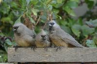 Drei Mousebirds warten gespannt auf den nächsten Essensgang.