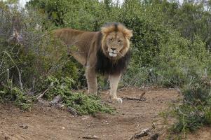 Und schließlich sagt auch noch ein stattlicher Löwe Good bye.