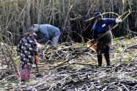 Schwere Arbeit – auf unwegsamen Feldern kann Zuckerrohr nur manuell geerntet werden.
