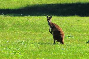 Da grinst das Känguru.