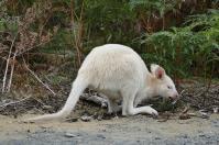 Eine Begegnung der angenehmen Art mit Weißen Wallabys
