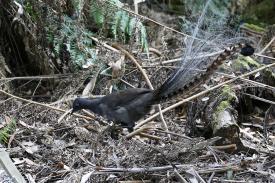Einen der seltenen Lyrebirds bekamen wir im Tarra Bulga Nationalpark vor die Linse.