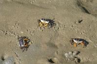 Es macht Spaß, die kleinen Krabben im Mangrovenwald beim Fressen zu beobachten.