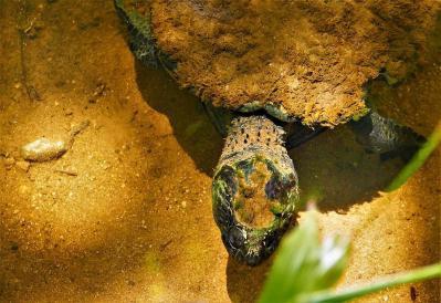 Statt Schnabeltiere sehen wir am ersten Tag nur Schildkröten, deren Alter wir auf das des Flusses geschätzt haben.