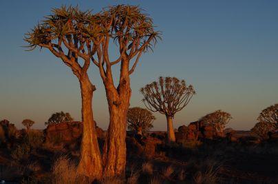 L006 Köcherbaumwald in Namibia