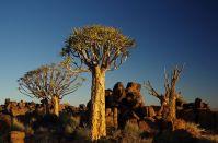 Köcherbäume bei Keetmanshoop (Namibia)
