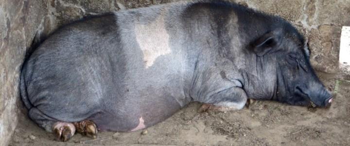 SaPa die Welt der Schweine und Reisfelder