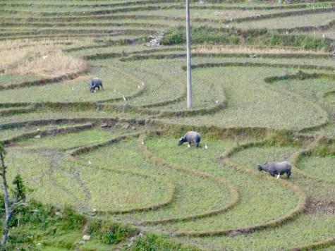 Reisfelder und Bueffel