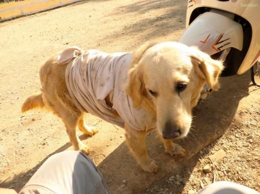 Nachts bekommen viele Hunde ein Shirt an, weil es so kalt wird :-)